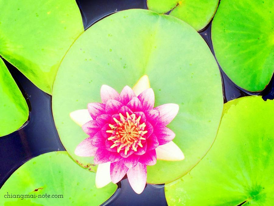 シリキット王妃植物園のロータスガーデンにて蓮の花。 【ショッピング】漢方でも重宝される蓮の実スナックがお土産にお勧めだよ