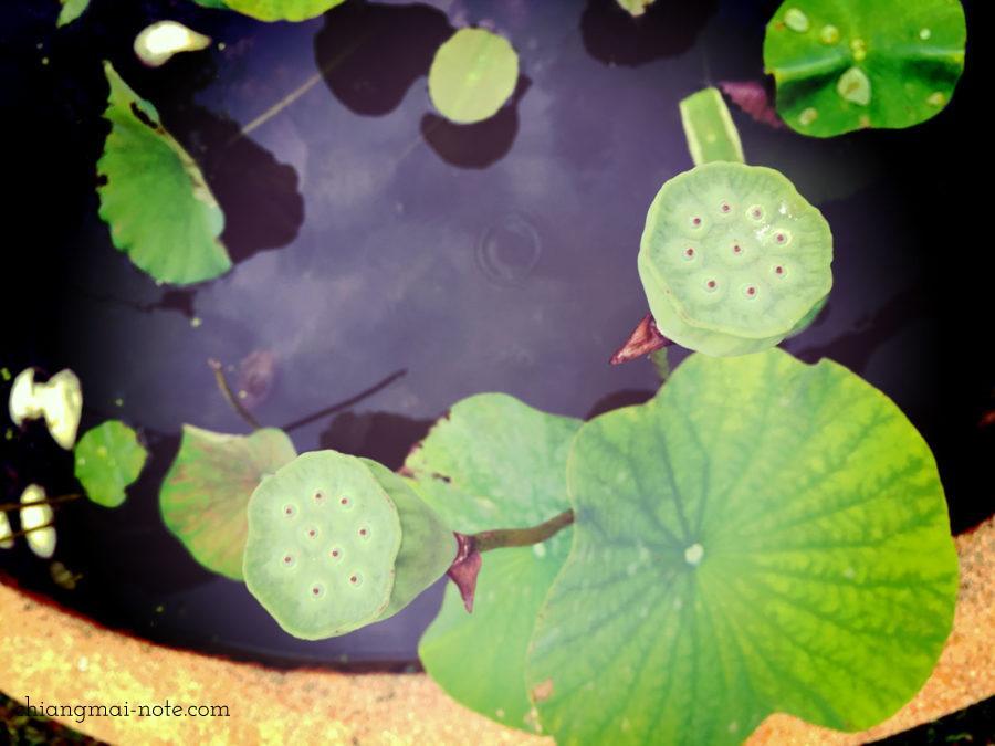 植物園で見た蓮の実。生の蓮の実。 【ショッピング】漢方でも重宝される蓮の実スナックがお土産にお勧めだよ