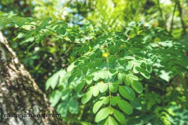 モリンガオイルなど《奇跡の木》の健康茶やコスメをお土産に
